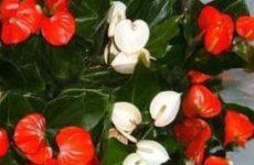 Какие цветы женское и мужское счастье притягивают? Цветок «женское счастье» и цветок «мужское счастье».