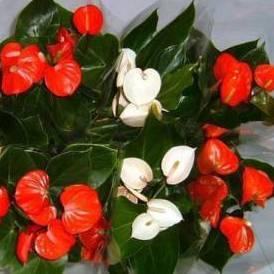 Комнатный цветок мужское счастье