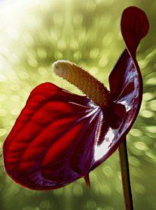 Цветок мужское счастье